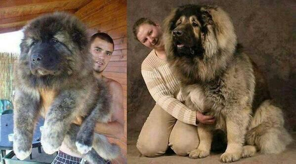 This is what a Russian Caucasian Mountain Dog looks like!