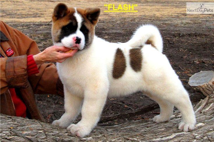 """Akita Puppy for Sale: GLAD RIVER'S """"FLASH"""" (CH SIRED) - 370f1c90-9da1"""