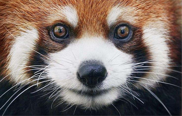 Red Panda by Tim Flach. #timflach #animalphotography #redpanda