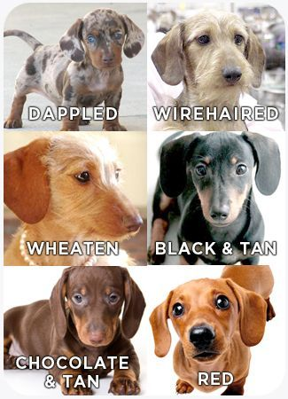Dachshunds! dog breed info!