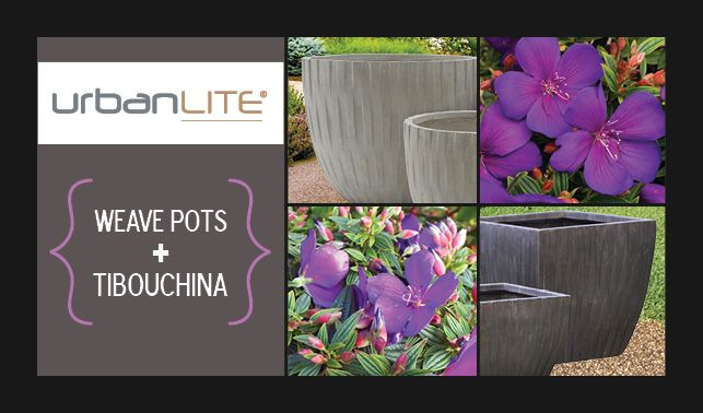 Vibrant purple Tibouchina's are such a highlight of the autumn garden! Check out the stunning Tibouchina 'Groovy Baby'. It' grows to just 60 cm tall so it's tailor made for decorative pots. We think it would look super in our new urbanLITE Weave pots. They're light and durable, stylish and come in two sexy colours - iron ore and sand! http://www.northcotepottery.com/pottery/urbanlite