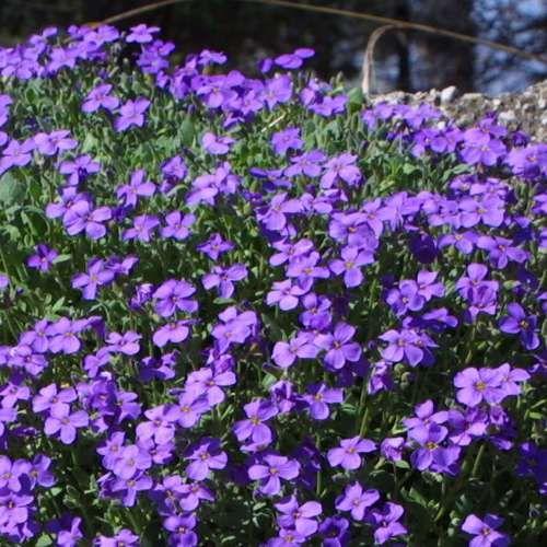Blaukissen - Aubrieta 'Royal Blue'