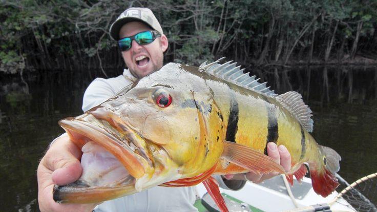 25 best ideas about peacock bass on pinterest bass for Bass fishing season