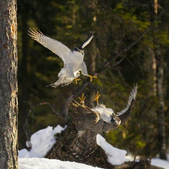 Astore, Kouvola, Finlandia Fotografia di Jari Heikkinen/Wild Wonders of Europe  Due maschi combattono tra la neve.