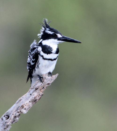 Bontvisvanger (Pied Kingfisher) Mabalingwe, Bela Bela, South Africa