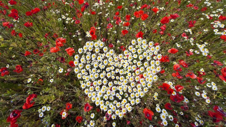 Kwiaty, Maki, Rumianek, Serce