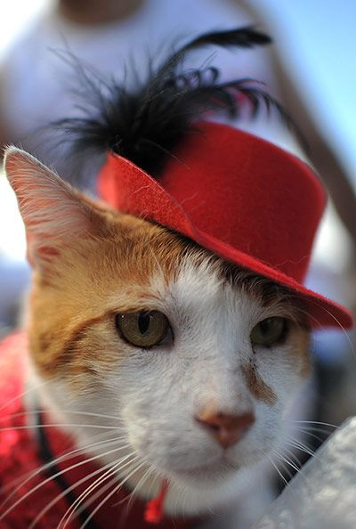 "The Guardian's gallery of an animal carnival in Rio. This cat's expression says ""you will die horribly, and soon, for making me wear this fucking horrible hat""."