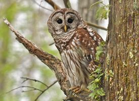 one of my favorite residents of our woods -  the barred owl