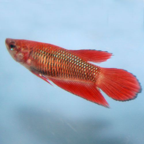 58 best images about pictures of betta fish tips on for Types of betta fish petco