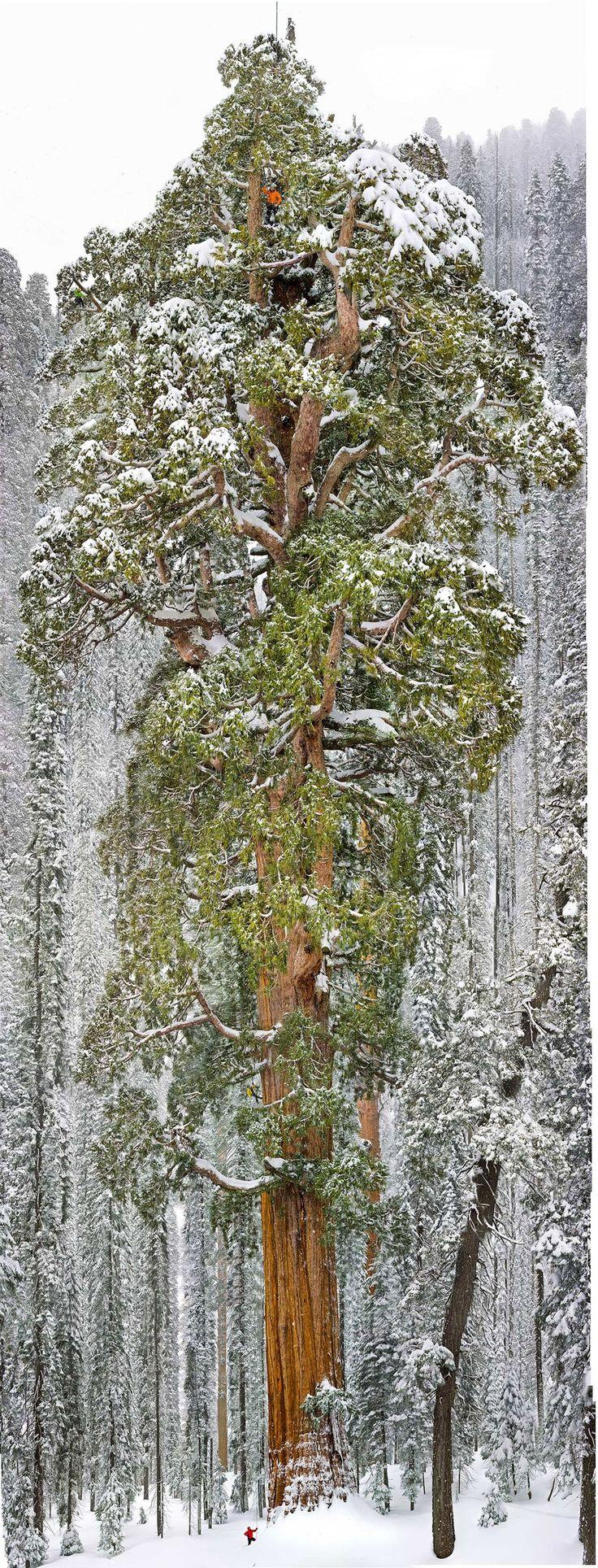 Âgé de 3200 ans, le « Président » est un séquoia géant situé au cœur de la « Giant Forest ». Cet arbre vieux de 3200 ans mesure 75 mètres de haut et 8 mètres de diamètre à la base.