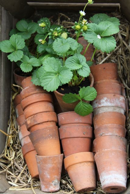 Potting, pots and strawberry plants