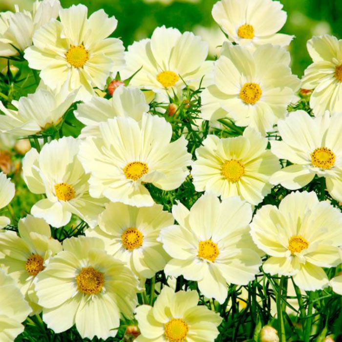 Cosmos Seeds Xanthos In 2020 Cosmos Flowers Cosmos Plant Flower Seeds Online