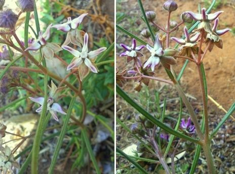 Asclepias stellifera (Common Meadow-star in English & khola-ntja in Sesotho)