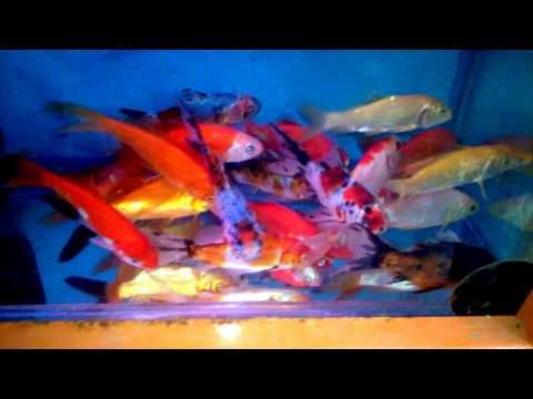 aquarium for all fish blogspot: Goldfish Breeding #Fish#FishTank#TropicalFish#Fishing#NomCat#Salmon#Aquarium#Health#Food#Healthy#Seafood#Heart#HealthyLiving