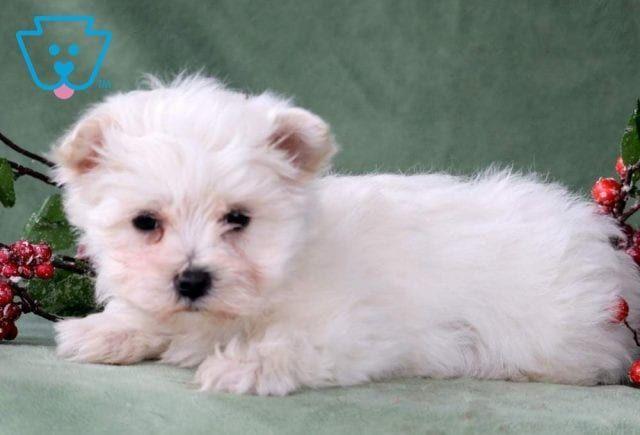 Chex2 Maltese Toy Dog Breed Akc Maltese Maltese Breed Maltese