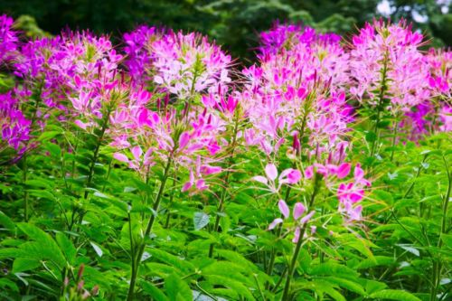 SPIDER-FLOWER-MIX-450-SEEDS-Cleome-spinosa-ANNUAL-FLOWER
