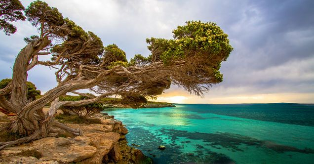 Coastal Tree, Port Lincoln South Australia by Jacqui Barker ABC open contributor  - facebook.com/abcopen
