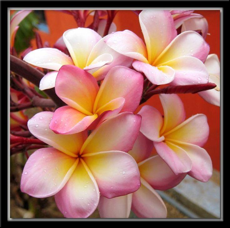 Flor nacional de Nicaragua Sacuanjoche / Sancuanjoche