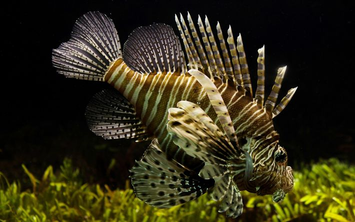 Download wallpapers lionfish, Pterois, Red lionfish, striped lionfish, beautiful fish, underwater world, ocean, Pterois volitans