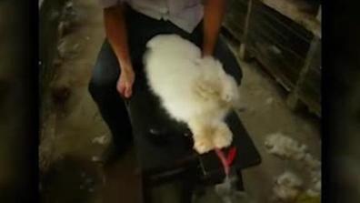 Video choc diffuso dall'associazione animalista Peta. In una fabbrica cinese di angora i conigli vengono privati della pelliccia quando sono ancora coscienti. Pechino è il più importante paese esportatore di lana d'angora del mondo. In retromarcia i colossi dell'abbigliamento, soprattutto low cost (Corriere Tv - Peta Asia)