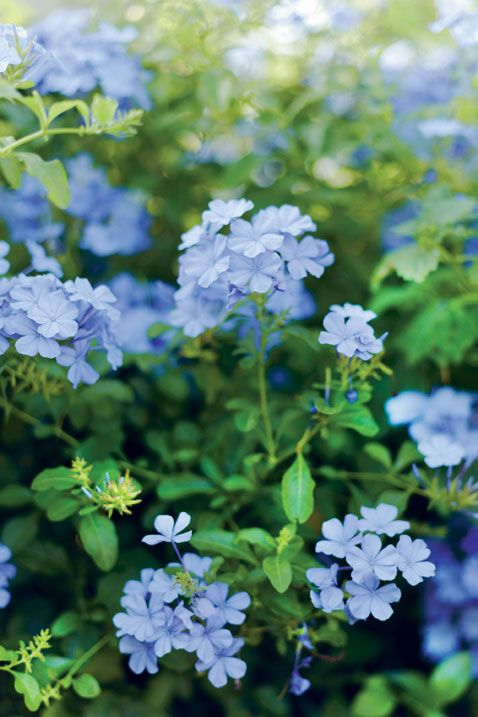Plumbago is beautiful but would need to be potted and brought inside during a UK winter :)