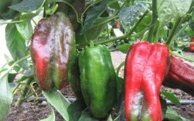 Come coltvare i peperoni e dare un tocco di colore al vostro orto! #orto #coltivare #seminare #peperoni