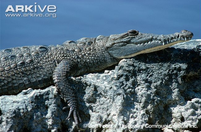 A fairly large crocodile species, the American crocodile has a stocky body with a long, powerful tail. The short but muscular legs end in sharp claws and the long triangular snout contains 14 to 15...