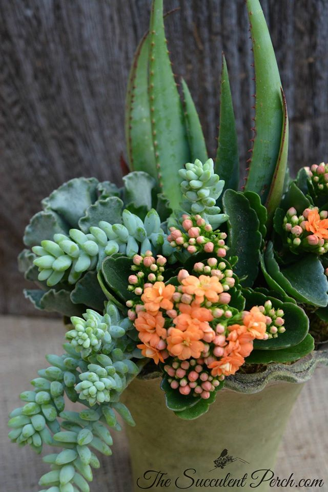 Kalanchoe blossfeldiana adds a punch of color with its wonderful blooms...does well indoors and out in bright areas design/photo: The Succulent Perch