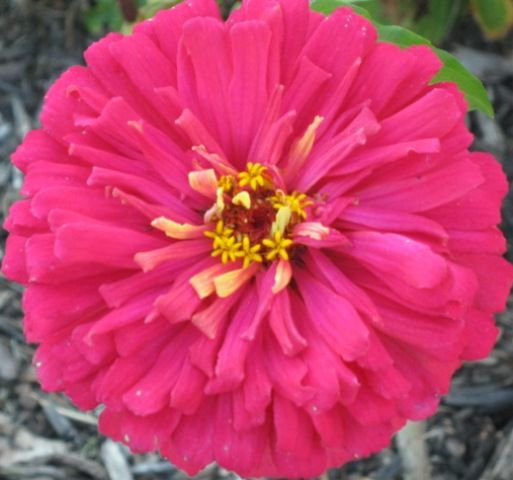 gorgeous flowers | Gorgeous Zinnia Flower by Suburban Grandma