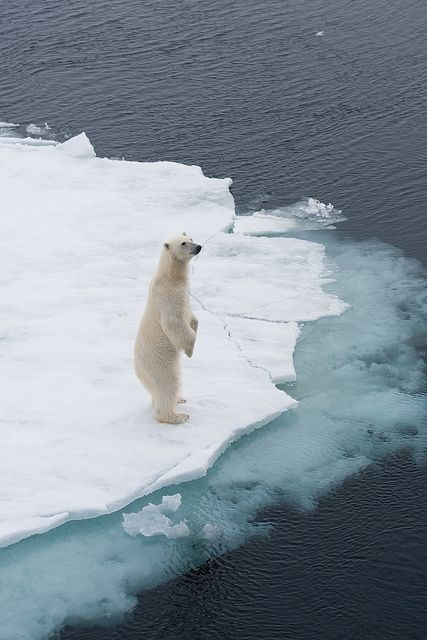 'Hellloooo over there... are you doing enough to prevent climate change?'...  polar bear