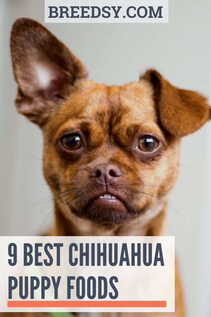 Carlotta Over Takes An In Depth Look Into The 9 Best Chihuahua