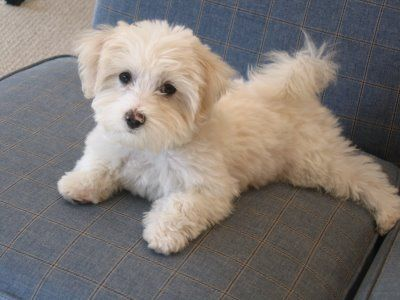 Maltese poodle terrier mix