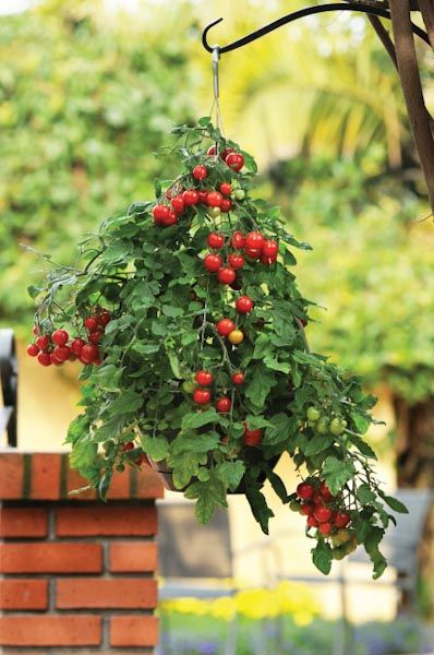 Hanging Basket Idea: Tomatoes require lot of space to grow and if you have a small garden you'll mind this.   So, why not grow tomatoes in hanging baskets, they do well and look impressive, too. No less beautiful than petunias and pansies.