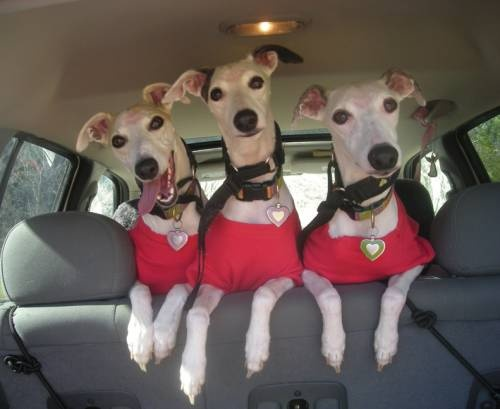 .: Three Whippets, Greyhounds Stuff, Adoption Greyhounds, Greyhounds Dogs, Adorable Doggie, Cars Riding, Wonder Whippets, Happy Dogs, Italian Greyhounds