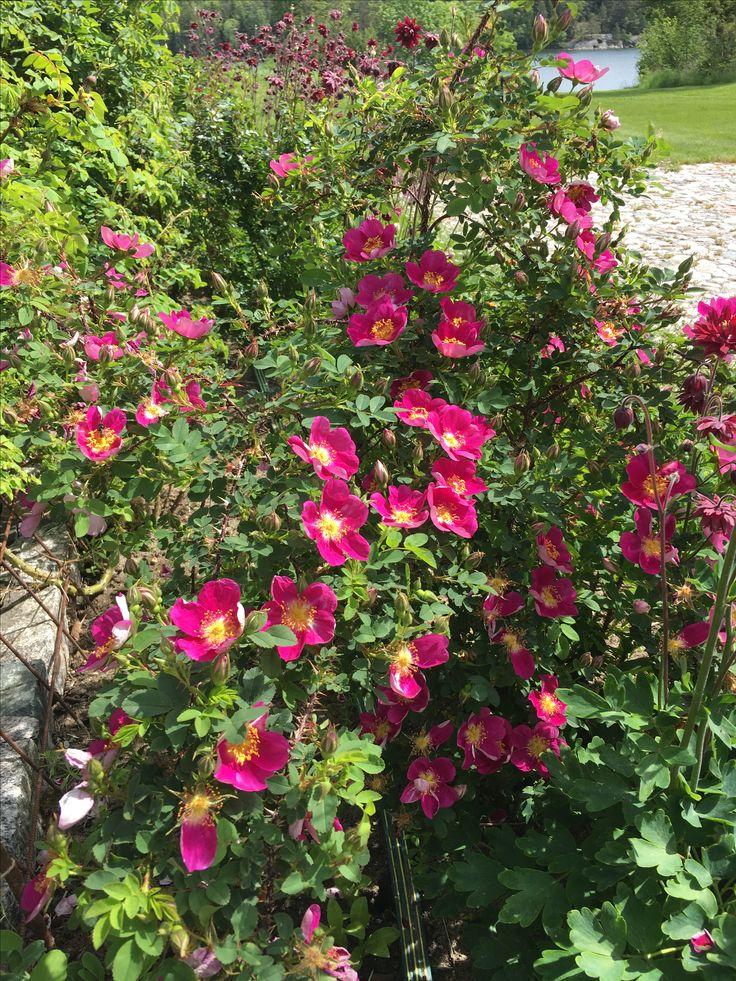 Rosa Single Cherry Blommar i juni