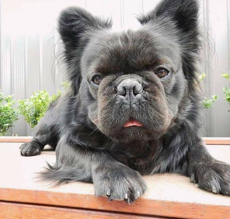 long haired french bulldog the 25 best long haired french bulldog ideas on pinterest 5867