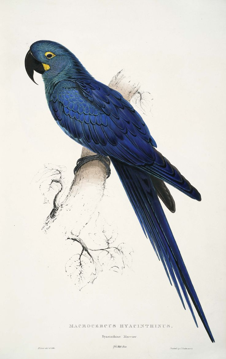 Anodorhynchus leari, by Edward Lear. An painting by Edward Lear of a Lear's Macaw, which he had originally mistakenly described as a Hyacinth Macaw (before Lear's Macaw had been identified as a separate species)