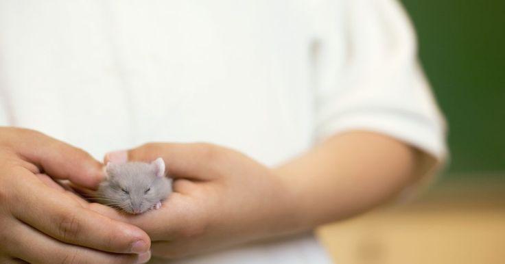 Como fazer um hamster confiar nas pessoas. Quando você levar para casa o seu hamster de estimação, é provável que o seu amigo peludo seja muito arisco e esteja nervoso. Isso é natural, uma vez que ele está se acostumando com os sons e cheiros de seu novo ambiente. Não desanime se o seu hamster não parecer interessado em brincar com pessoas na primeira semana -- é muito importante dar tempo ...