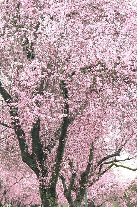 Cherry Trees - Vancouver, British Columbia, Canada