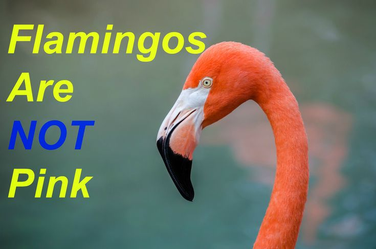 10 Interesting & Colorful Facts About Flamingos. Animal facts / Bird Facts | There are only 4 species of Flamingos in the Americas & 2 in the old world. The ...