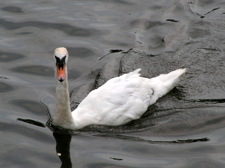 Swan checking me out