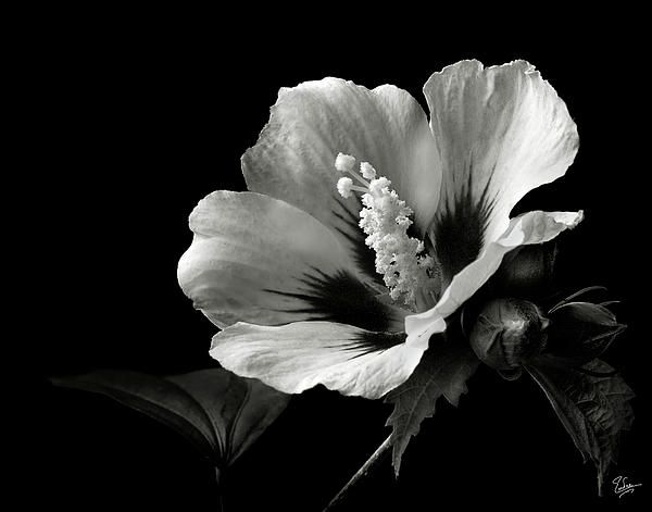 Flower photograph rose of sharon in black and white by endre balogh