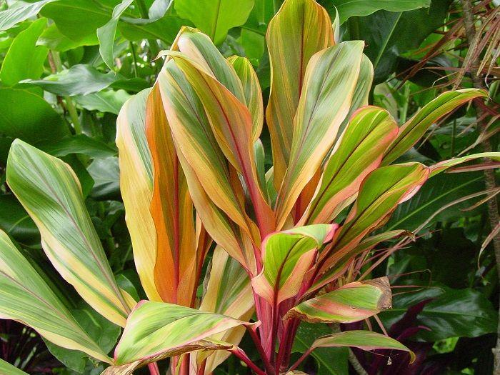 Image result for Cordyline fruticosa