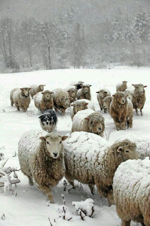 Sheep in Winter ....