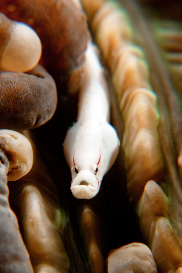 Among the thick sea anemones, a sea eel disguises itself to blend with the environment