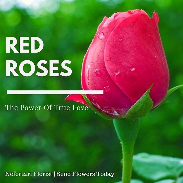 Download Gambar Bunga Romantis Tema Bunga Mawar Merah For Android Apk Download Gambar Mawar Merah Berkembang Menanam R Gambar Bunga Mawar Ungu Gambar Mawar