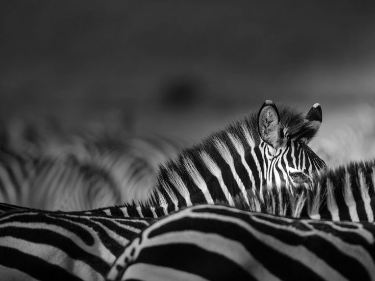 Zebra, Kenya  Photograph by Johan Siggesson, National Geographic Your Sho