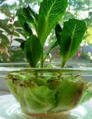 Сельдерей и капусту можно вырастить из собственных веточек.