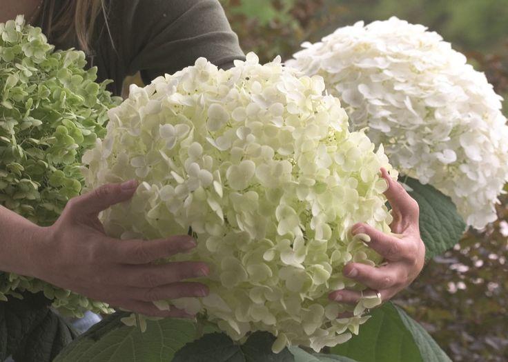 Hoe snoei ik mijn hortensia? Het snoeien van hortensia is voor veel mensen een groot vraagteken. Vandaar dat wij hieronder duidelijk uitleggen hoe u de verschillende hortensia soorten kunt snoeien. Snoeien van hortensia 'Annabelle' De tuinhortensia Hydrangea 'Annabelle' is één van de meest verkochte hortensia's. Dit vanwege de grote crême-witte bloemen die lang mooi blijven. …