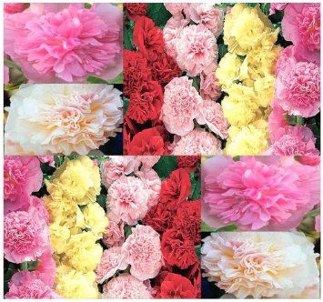 Amazon.com - SUMMER CARNIVAL MIX Seed - HOLLYHOCK Flower Seeds ...